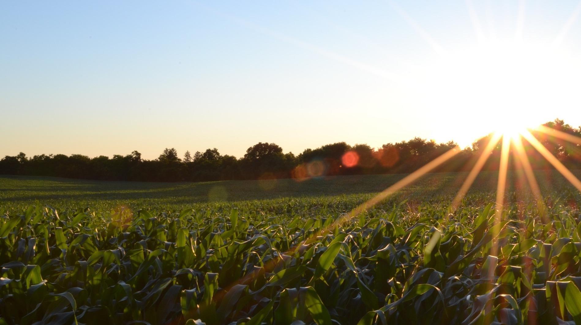 corn-691634_1920